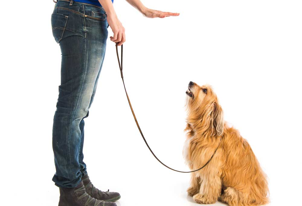person with hand out telling shaggy dog to sit.