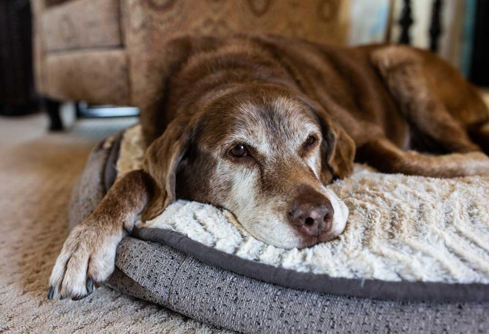 Old brown dog with graying face on a dog bed