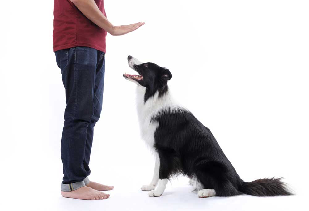 Man using hand signal for border collie to stay on white background