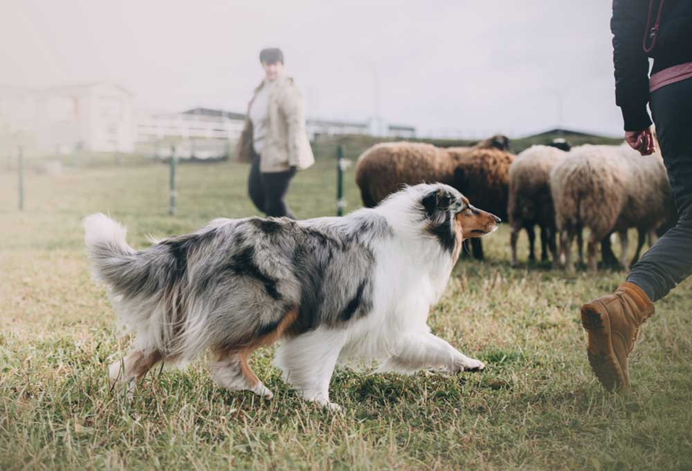 Herding dog with people in pen with flock of sheep