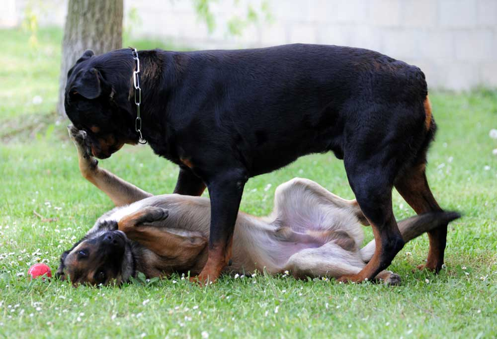 German shepherd showing Submissive Behavior to a Rottweiler outdoors in grass
