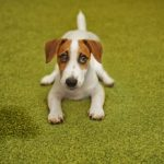 Jack Russell Terrier on green carpet next to puddle of pee