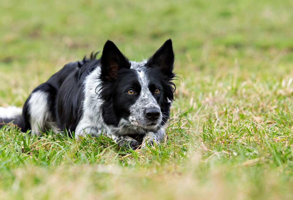 Close up of border collie laying in grass