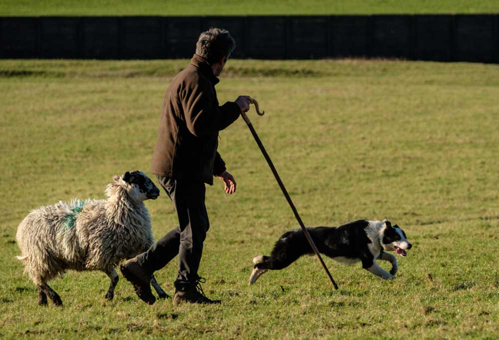 Shepherd walking in field with sheep and border collie