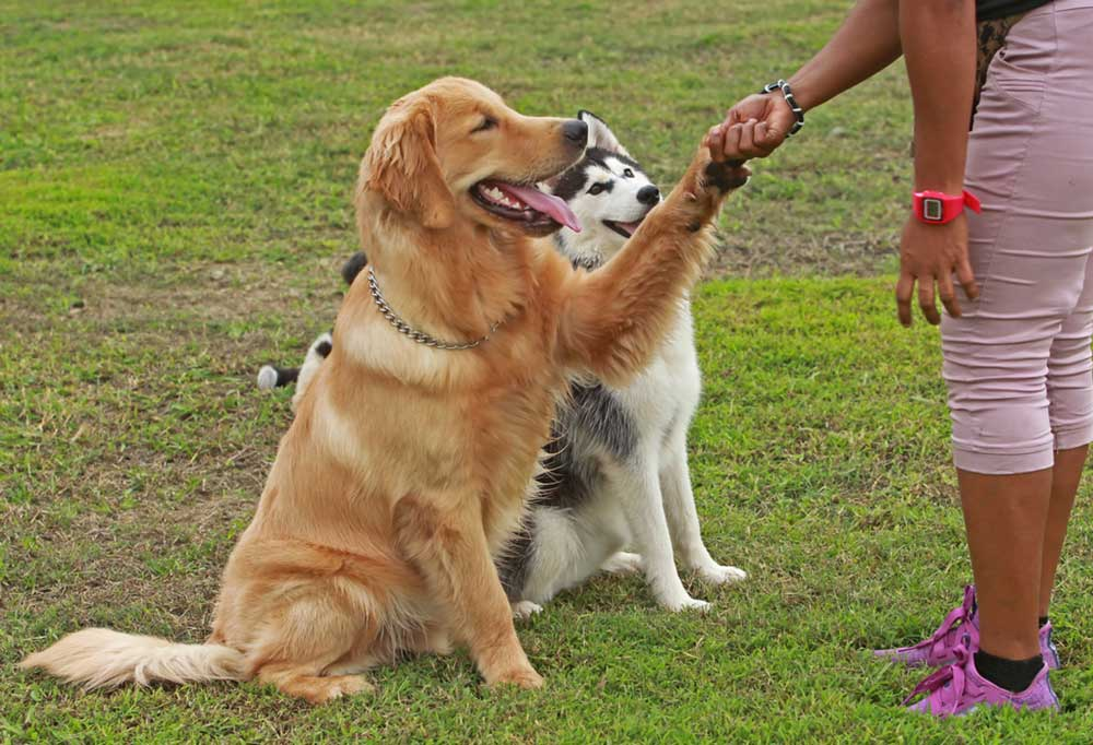 Husky and golden retriever outdoors with person, retriever is shaking the person's hand