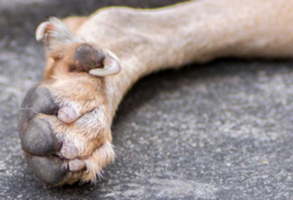 Close up of dog paw with long dew claw