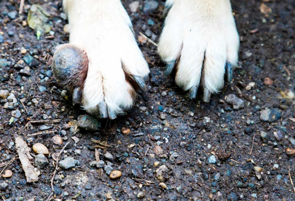 Close up of dog paws with tumor at one of the nail beds