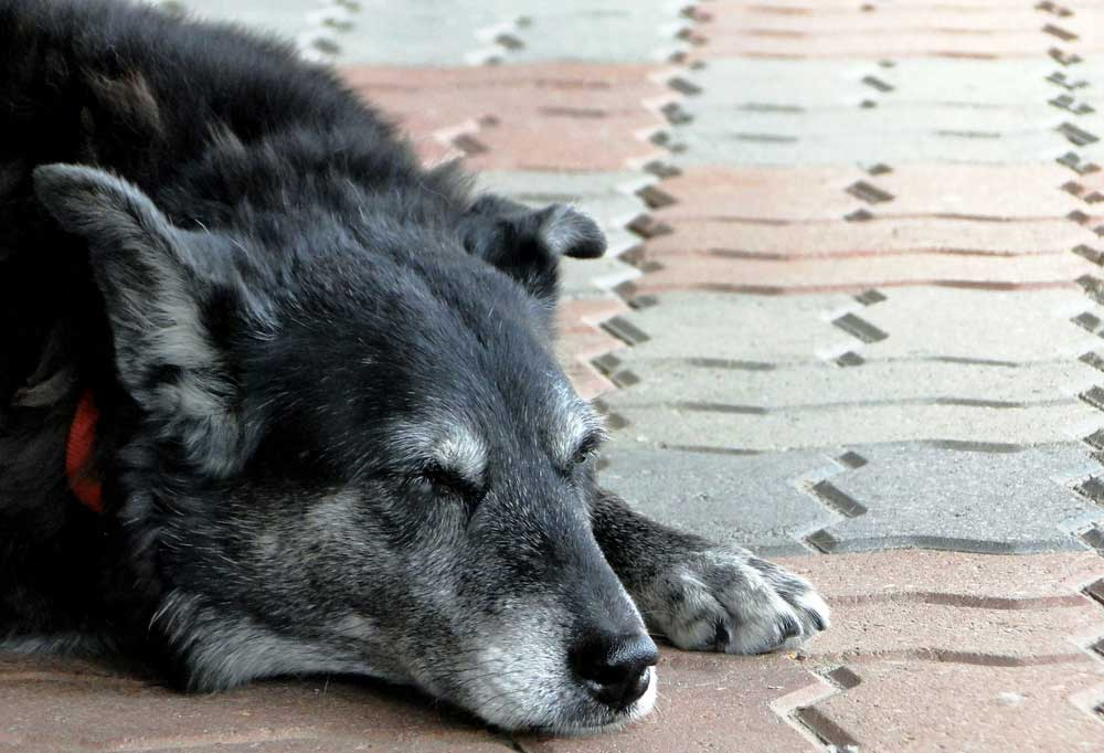 Black dog with graying face laying on tiled patio