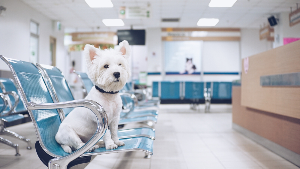 Small white dog siting in a chair at a vet clinic