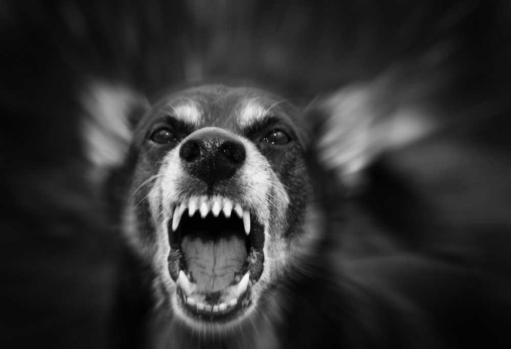 Black and white photos of Viciously barking dog