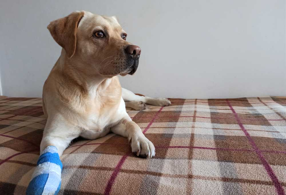 Yellow Labrador retriever laying on a plaid blanket with bandaged paw