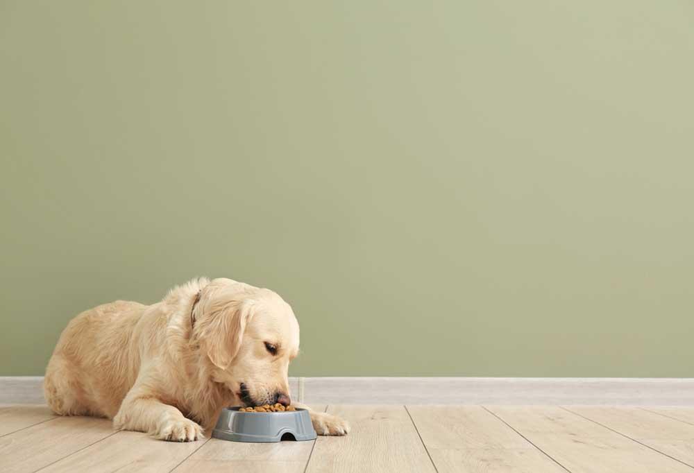 Yellow Labrador laying down eating