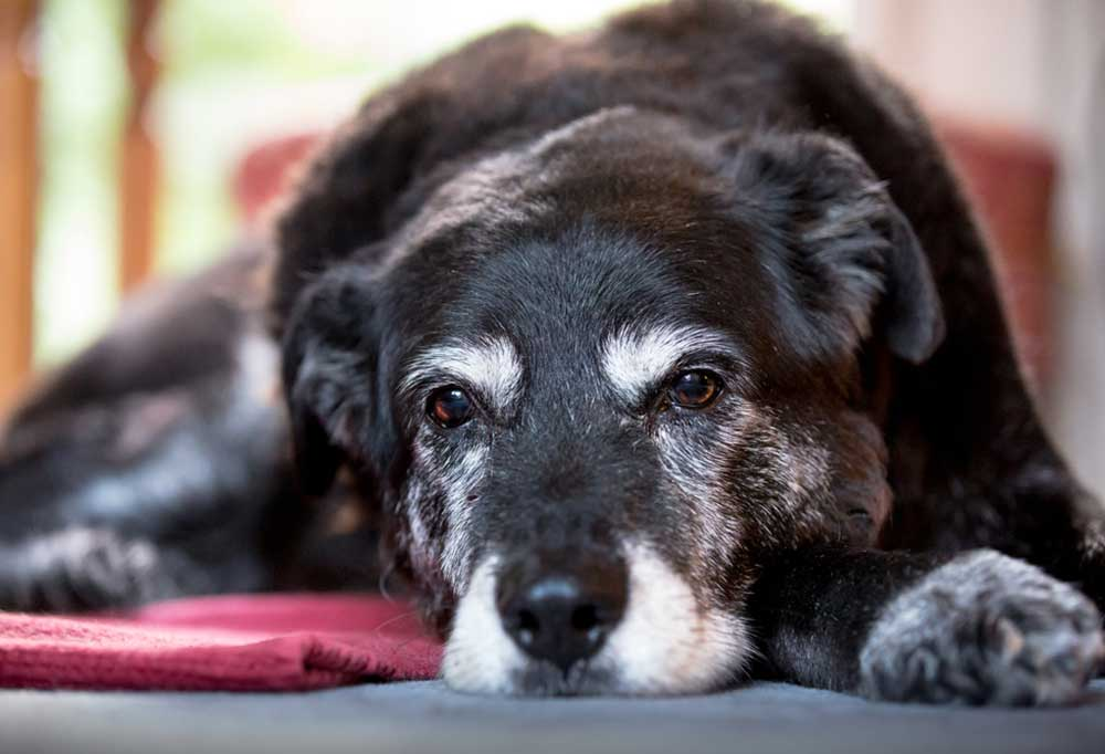 Black dog with graying face and paws laying down on floor