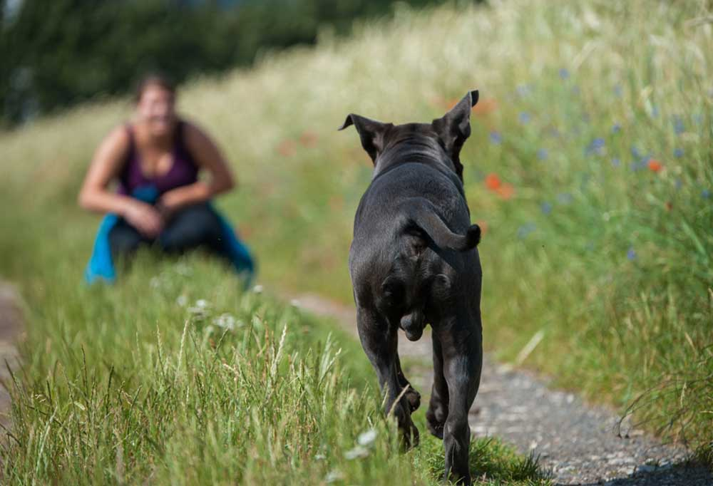 Back view of black dog running to owner