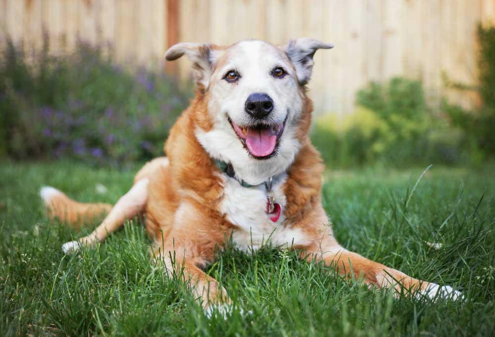 Old dog with graying face laying outdoors in grass yard