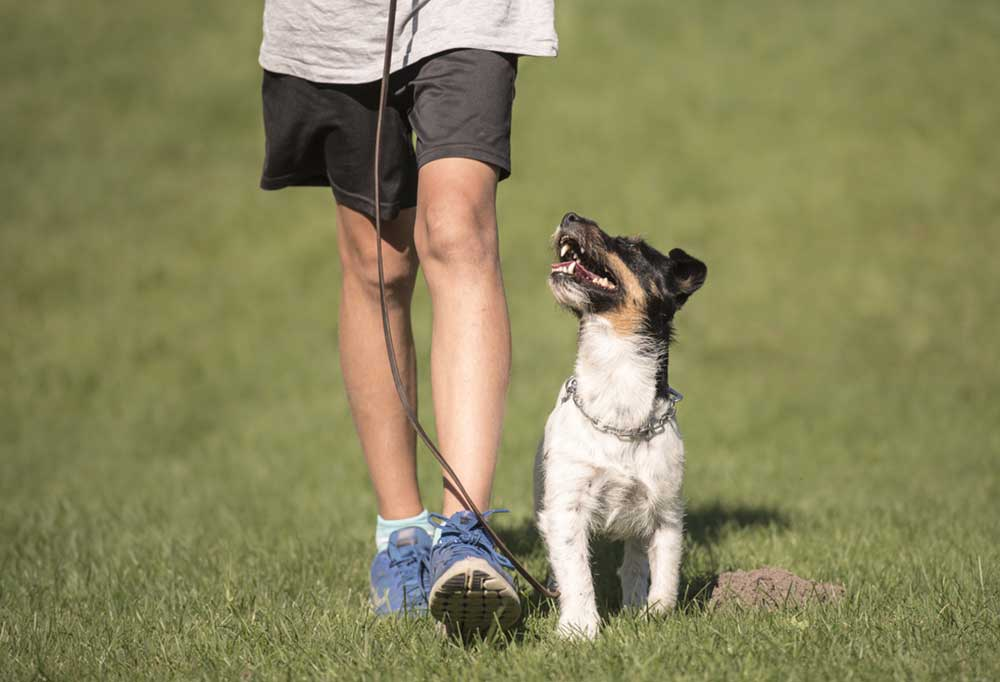 Jack Russell Terrier heeling at persons side in a grassy field