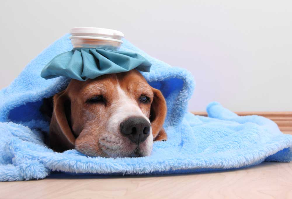 Beagle laying on blue blanket with ice pack on head