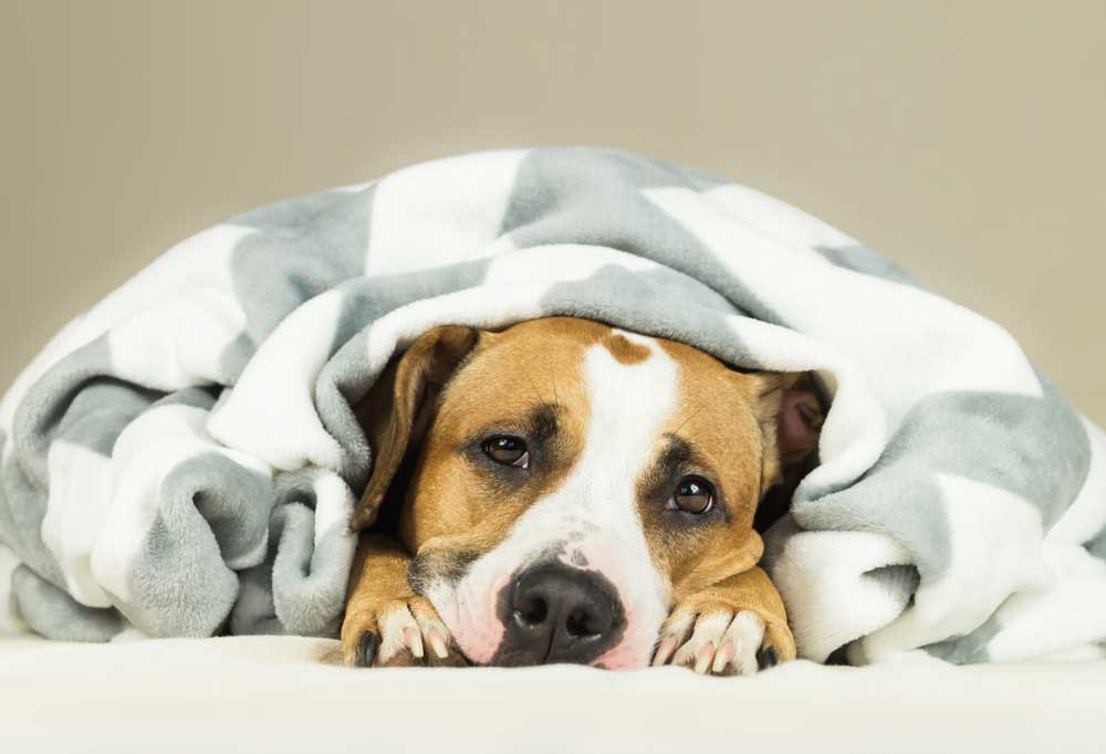 Brown and white dog laying under striped blanket