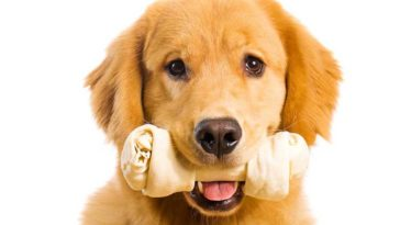 Golden Retriever Puppy with a rawhide bone