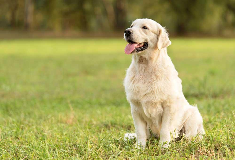 Golden retriever sitting in grass field