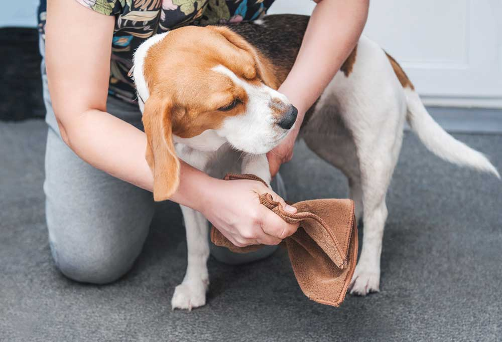 person drying beagles paws