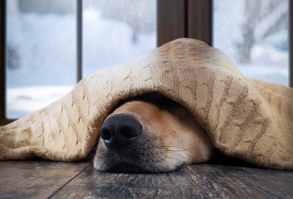 dog nose peeking from under a blanket