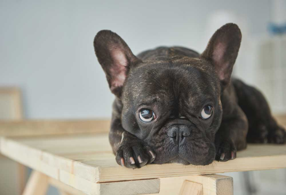Brindled French Bulldog laying on a piece of wood laying over saw horses