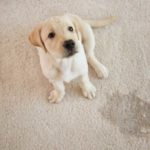 Yellow Lab puppy sitting on tan carpet with a wet spot