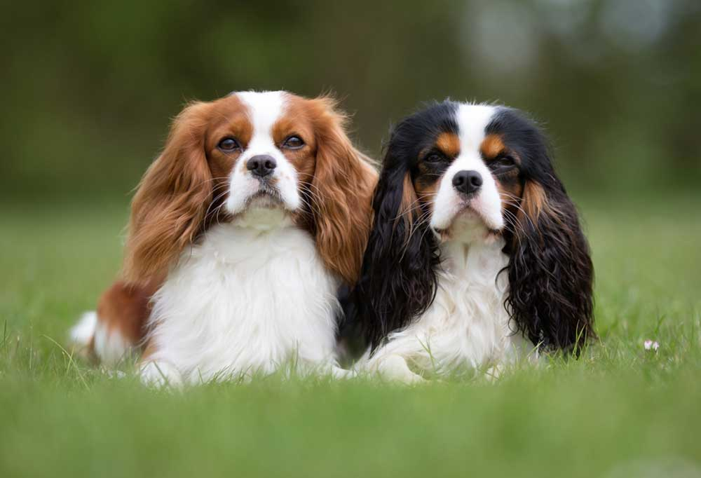Portrait of 2 Cavalier King Charles Spaniels laying in grass outdoors