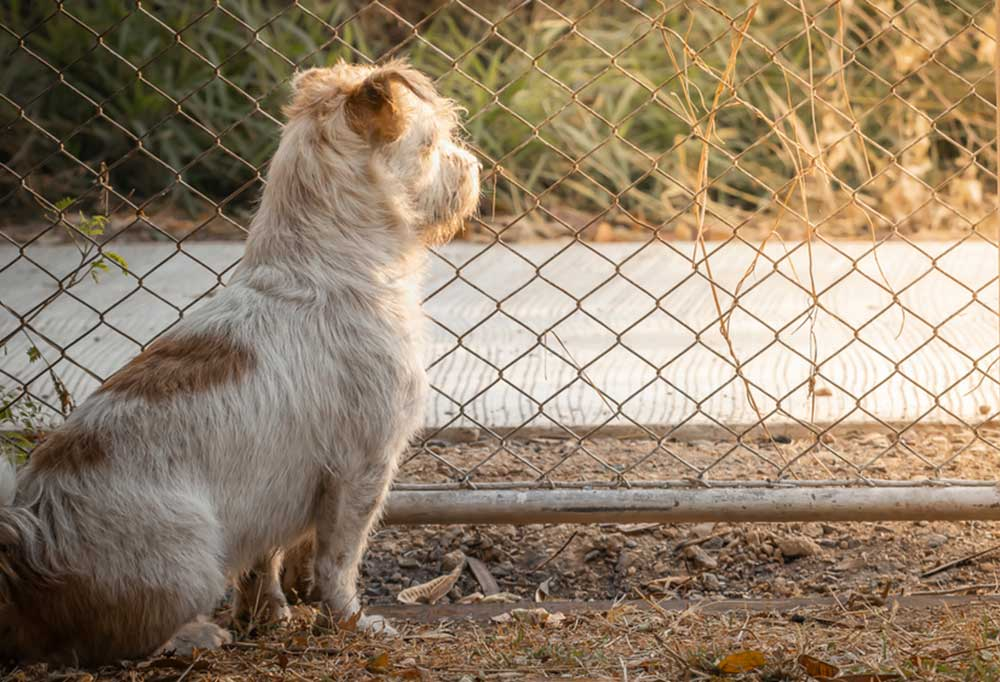 Small terrier sitting at chain linked fence looking at the sidewalk