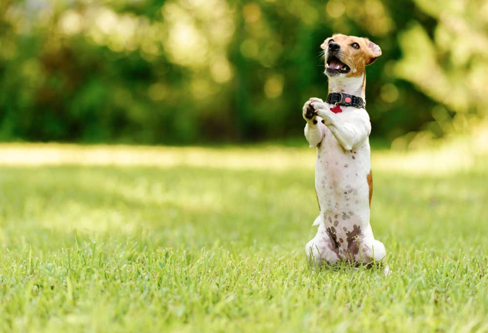 Jack Russell Terrier in the outdoors standing on hind legs and begging