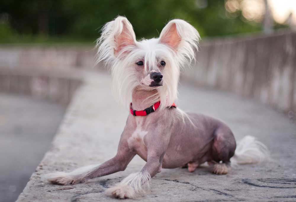 Chinese Crested laying on a concrete sidewalk