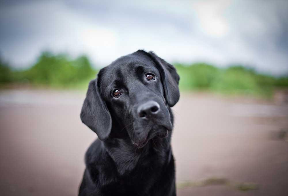 Black Labrador retriever with head tilted sitting on a beach