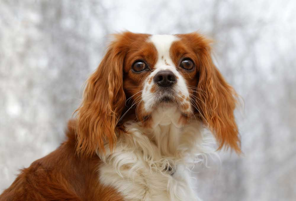 Portrait of an English Toy Spaniel with a snowy background