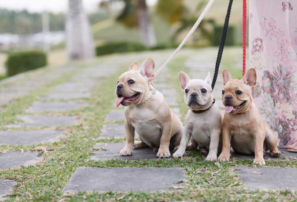3 pugs on leads sitting on a grass and paver path.