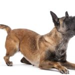 German Shepherd on white background kneeling on front paws and barking