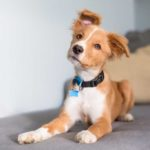 Cute brown and white puppy sitting on chair with head tilted