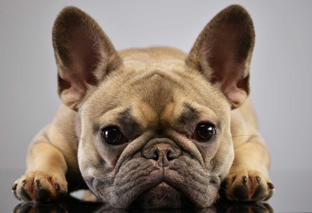 French Bulldog with head laying between its paws