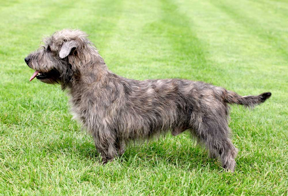 Side view of a Glen of Imaal Terrier standing outdoors in grass