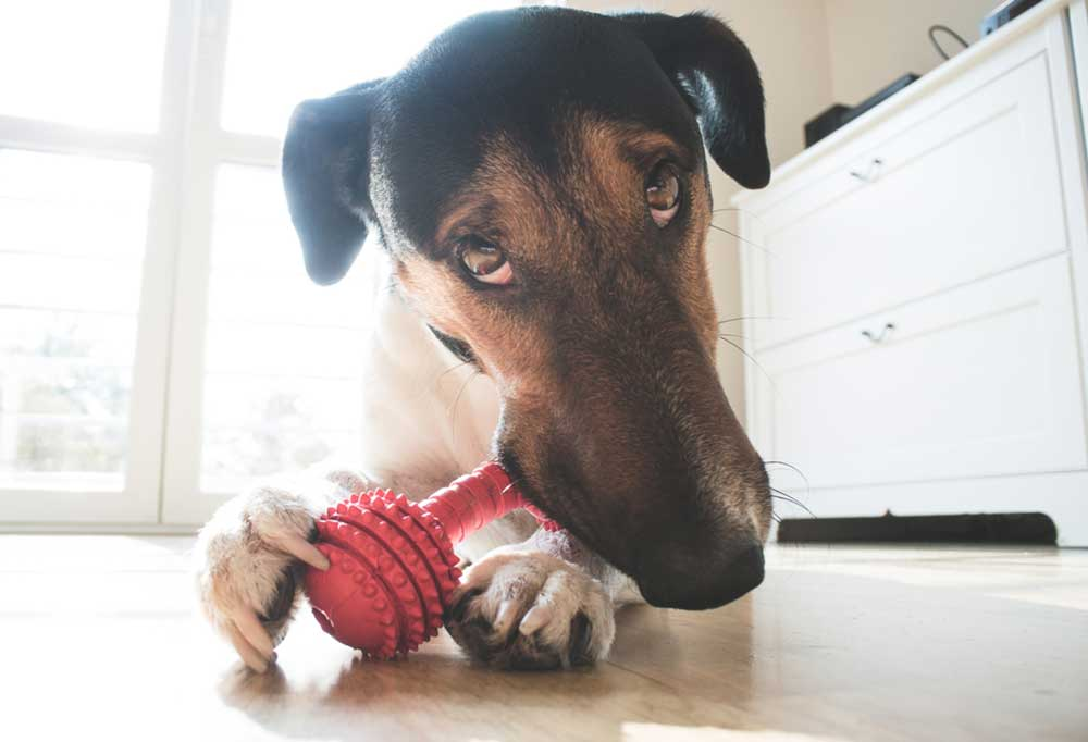 brown, black , and white dog chewing a red dog toy