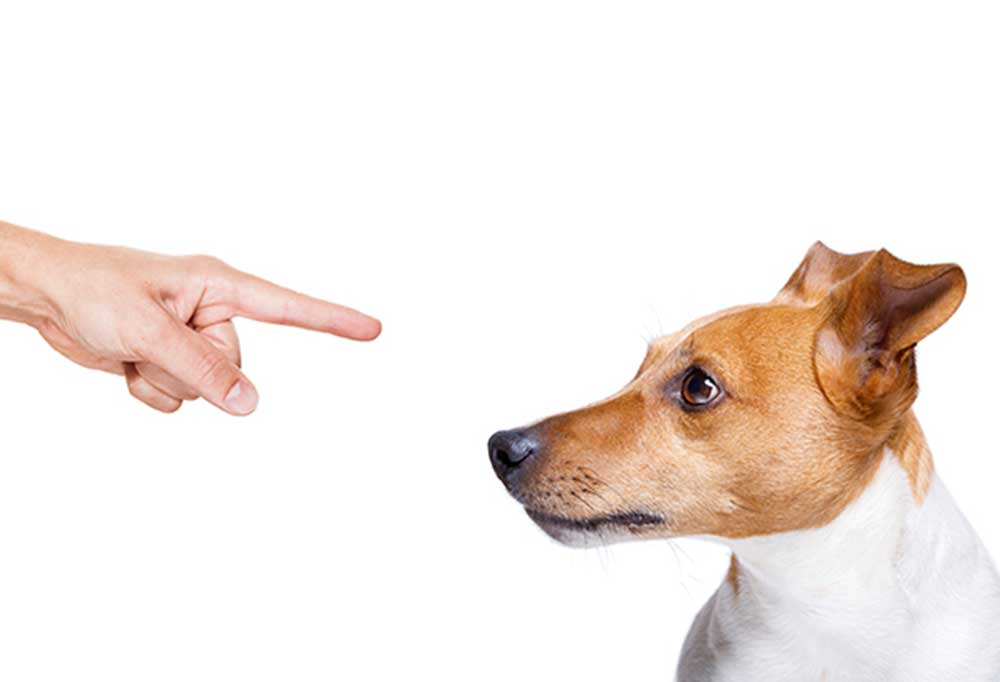 Jack Russell Terrier being pointed at on white background