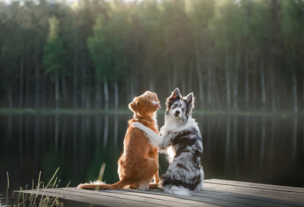 2 dogs sitting on the end of a dock looking over their shoulders one with its paw around the other