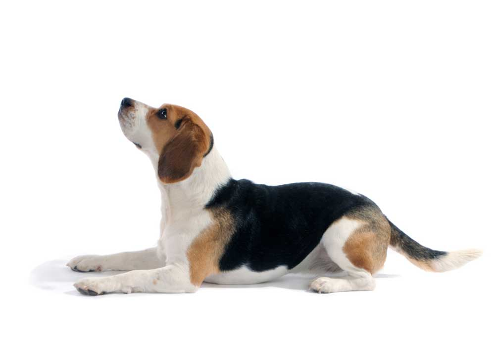 Beagle laying down on a white background