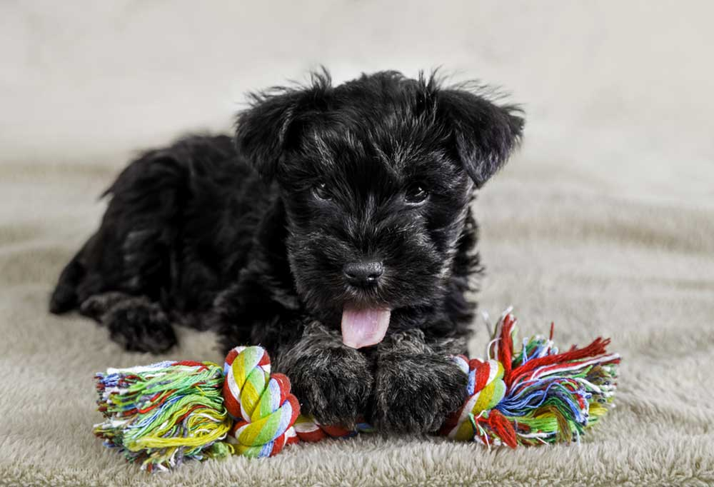 small black dog with a rope toy laying on carpet