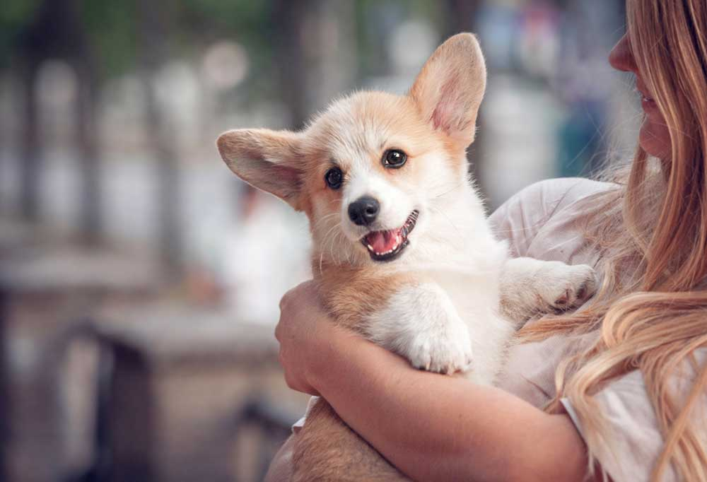 Corgi puppy being help by a woman with long hair