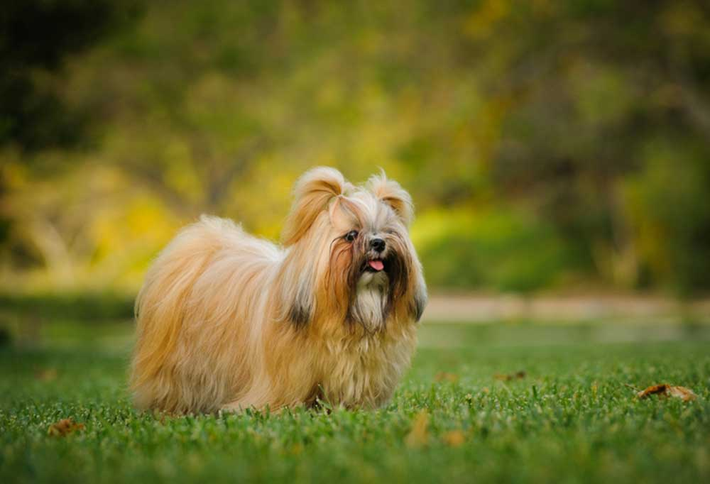 Shih Tzu with hair in pigtails on top of its head, standing in grass outrdoors