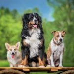 3 dogs, one small, one medium, one large, sitting on top of a plank of wood outdoors in front of trees