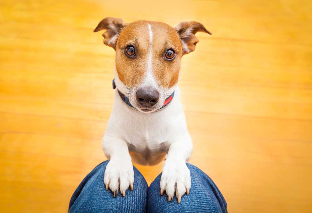 Jack Russell terrier with front paws on persons knees with a yellowy hard wood floor in background