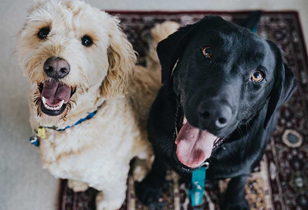 Closeup over head look of a black Labrador and a golden doodle sitting on a rug