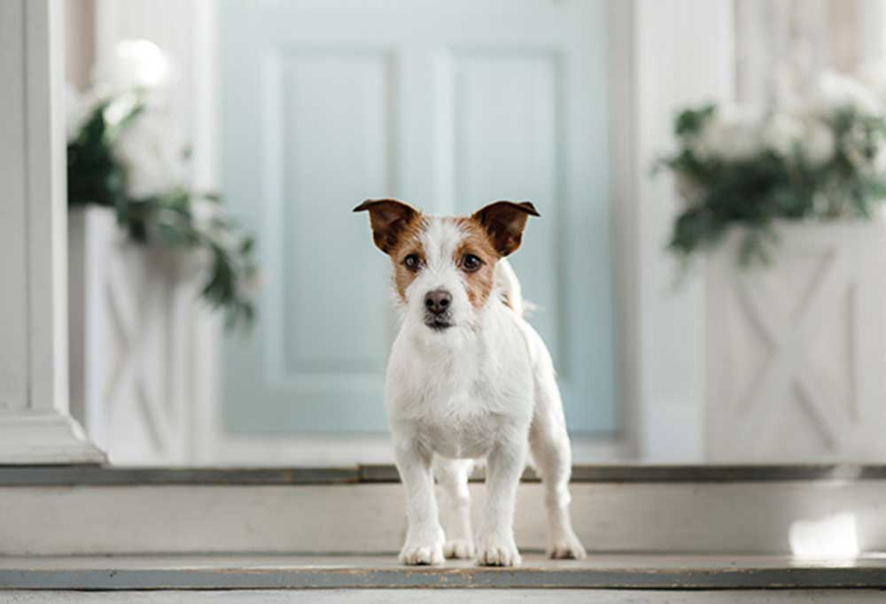 jack russell terrier standing on the top step in front of the front door